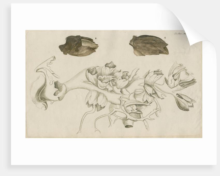'La Tulipe de Mer' [Barnacle] by Anonymous