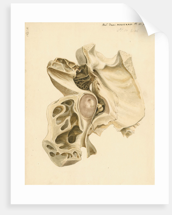 Indian elephant eardrum and mastoid cells by William Clift