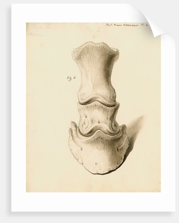 Fossil horse foot by William Clift