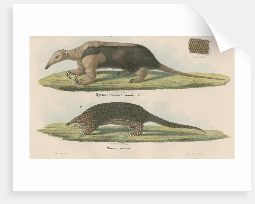 'Myremecophaga tamandua' [Giant anteater] and 'Manis javanica' [Sunda pangolin] by F Keller