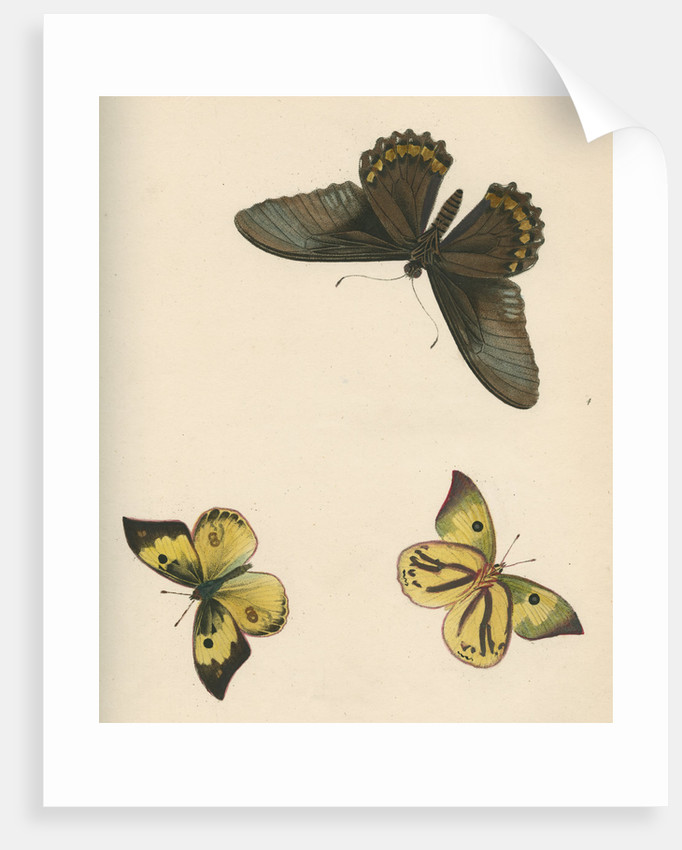 Butterflies of North and South America by Maria Eleonora Hochecker
