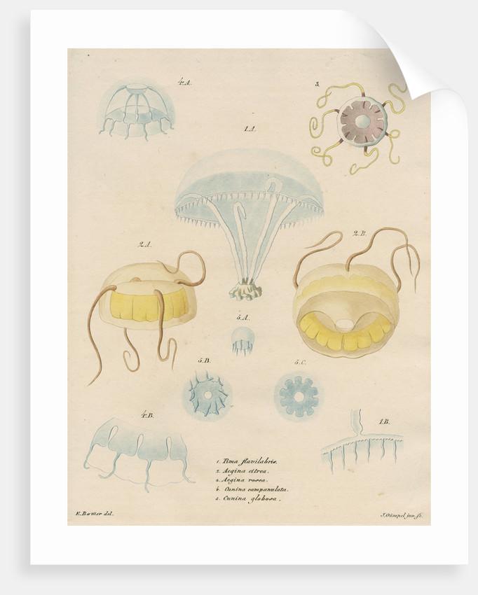 Five specimens of hydrozoa by J Gumpel junior