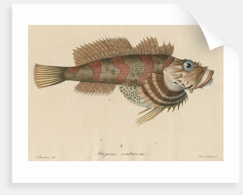 Blepsias ventricosus [Red Irish Lord fish] by Friedrich Guimpel