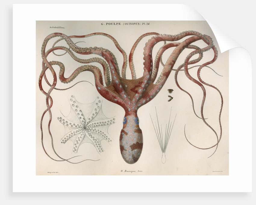 'Octopus macropus' [Atlantic white-spotted octopus] by Antoine Toussaint de Chazal
