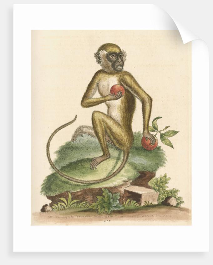 'The St Jago monkey' [Green monkey] by George Edwards