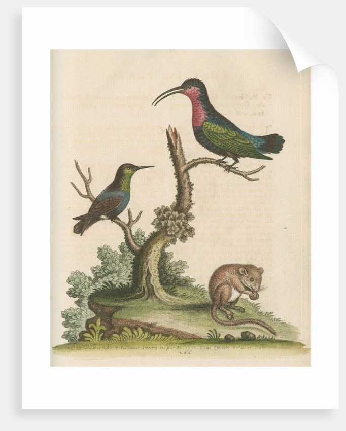 'The Red-breasted Humming Bird, the Green-throated Humming Bird, and the Dormouse' by George Edwards