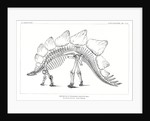 'Stegosaurus ungulatus' by unknown