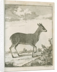 'Antilope Grimmii' [Common duiker antelope] by Johann Jacob Bylaert