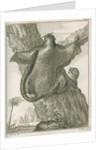 'Sciurus Petaurista' [Red giant flying squirrel] by Robert Muys