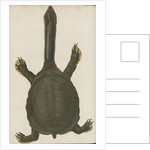 'Testudo granosa' [Indian flapshell turtle] by Johann Friedrich Volckart