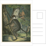 'The White Eye-Lid Monkey' [Mangabey] by James Sowerby