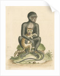 'The Middle-sized Black Monkey' by George Edwards