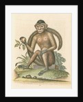 'The Bush-tailed Monkey' by George Edwards