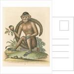 'The Bush-tailed Monkey' by George Edwards