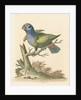 'The Blue-headed Parrot' by George Edwards
