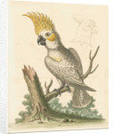 'The Lesser White Cockatoo with a Yellow Crest' by George Edwards