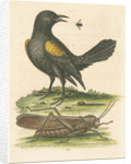 'The Yellow-winged Pye, and Greatest Locust' by George Edwards