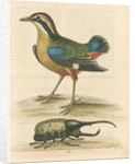 'The Short-tailed Pye &c.' by George Edwards