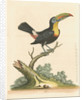 'The Yellow-breasted Toucan' by George Edwards