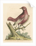 'The Pompadour [Pompadour cotinga]' by George Edwards