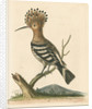 'The Hoopoe' by George Edwards