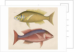 Studies of two fishes from Australia by Anonymous