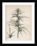 Female hemp plant by Richard Reeve
