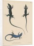 Blue lizard of Capri by J G Bach