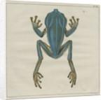 Giant leaf frog by F de Bakker