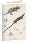 Two lizards of North America by Franke