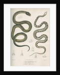 Two snakes of North America by Franke