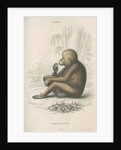 'Pithecus satyrus' [Orangutan] by William Home Lizars