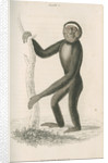 'Hylobates hoolock' [Hoolock gibbon] by William Home Lizars