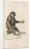 'Nasalis larvatus' [Proboscis monkey] by William Home Lizars
