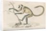 'Semnopithecus entellus' [Grey langur] by William Home Lizars