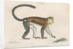 'Cercopithecus mona' [Mona monkey] by William Home Lizars