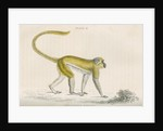 'Cercocebus sabaeus' [Green monkey] by William Home Lizars
