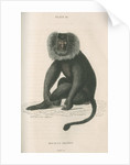 'Macacus silensus' [Lion-tailed macaque] by William Home Lizars