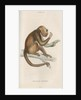 'Mycetes ursinus' [Brown howler monkey] by William Home Lizars