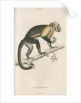 'Cebus monachus' [Large headed capuchin] by William Home Lizars