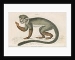 'Callithrix sciureus' [Common squirrel monkey] by William Home Lizars