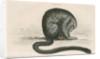 Aotes trivirgatus [Three-striped night monkey] by William Home Lizars