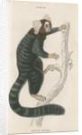 'Hapales jacchus' [Common marmoset] by William Home Lizars