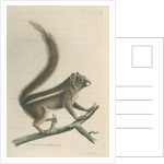 'Pencil-tailed squirrel' [Indian palm squirrel] by Richard Polydore Nodder
