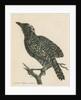 'Pied shrike' [Barred antshrike] by Richard Polydore Nodder