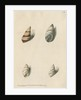 Two specimens of snail shells by Richard Polydore Nodder