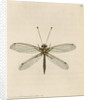 'Yellow-legged ascalaphus' [Yellow owl-fly] by Richard Polydore Nodder