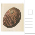 'Red earshell' [Blacklip abalone] by Richard Polydore Nodder