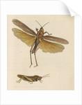 'Australian locust' [Gumleaf grasshopper] by Richard Polydore Nodder