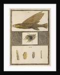Flying fish with freshwater nests and cases by T Cole